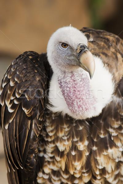 гриф портрет название животного живая природа Сток-фото © rognar