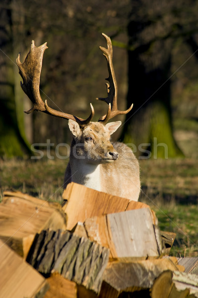 Deer in the Woodland Stock photo © rognar
