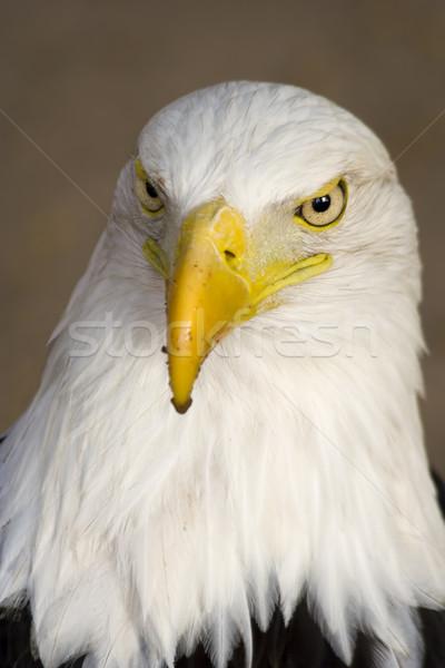 American Bald Eagle Stock photo © rognar