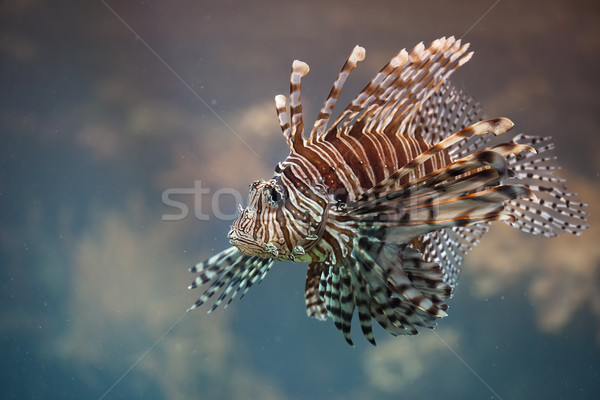 Red Lionfish Venomous Fish Stock photo © rognar