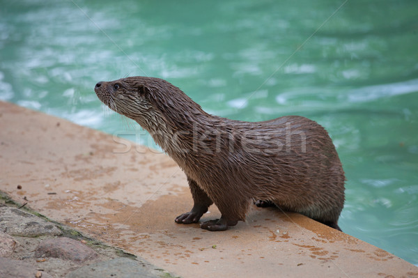 Otter by the Pool Stock photo © rognar