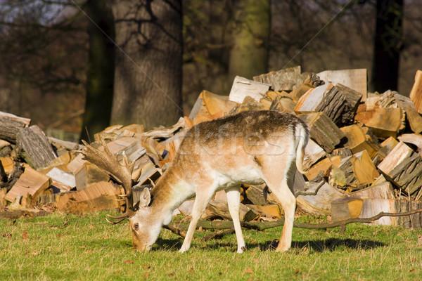 Grazing Deer Stock photo © rognar