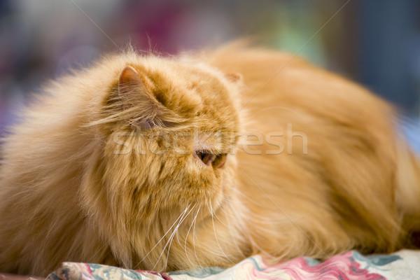 赤 ペルシャ猫 浅い 猫 レース ストックフォト © rognar