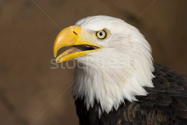 Foto stock: Americano · careca · Águia · retrato · animal · símbolo