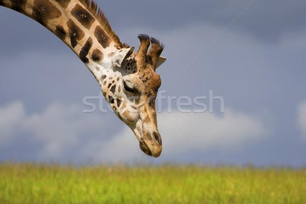 Fame giraffa primo piano nome erba testa Foto d'archivio © rognar
