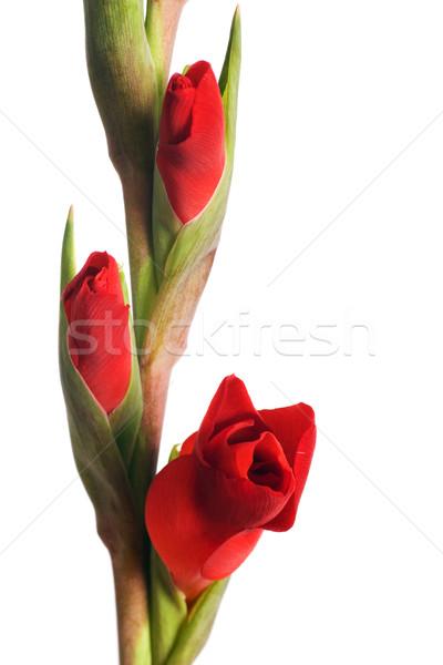 Rojo iris macro aislado blanco fondo Foto stock © rognar