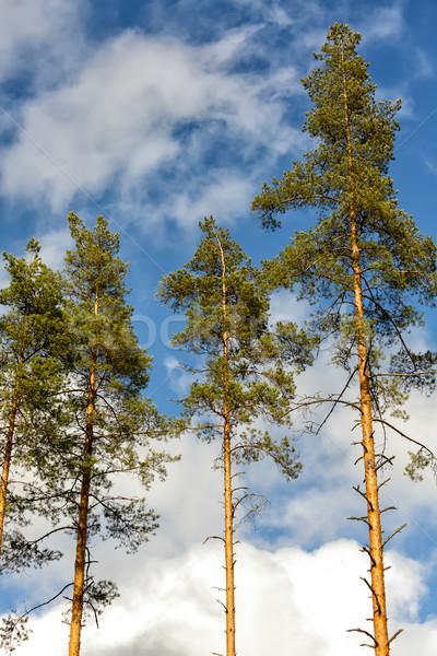 松 木 森林 曇った ストックフォト © Roka