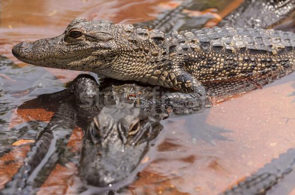 Krokodil kettő krokodilok textúra természet pár Stock fotó © Roka