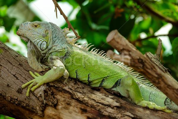 Iguana lusta fa erdő test bőr Stock fotó © Roka