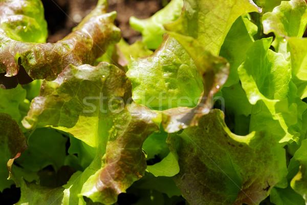 Zöld saláta kert ágy fény levél Stock fotó © Roka