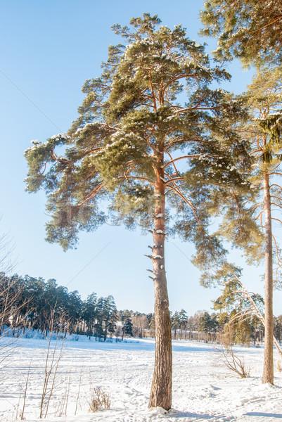 соснового зима покрытый снега день лес Сток-фото © Romas_ph