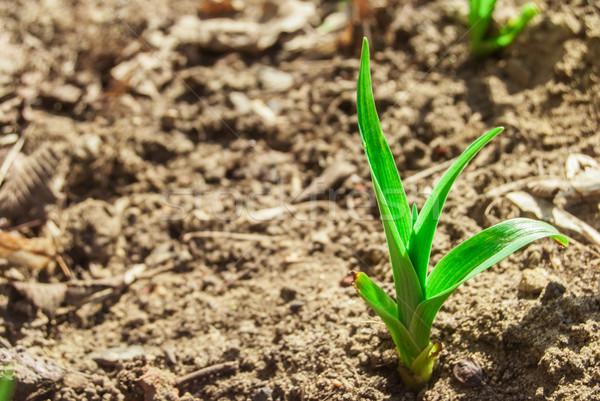 green sprout Stock photo © Romas_ph