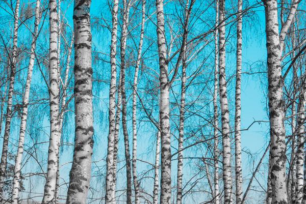 Nyírfa fa alsónadrágok kék ég égbolt erdő Stock fotó © Romas_ph