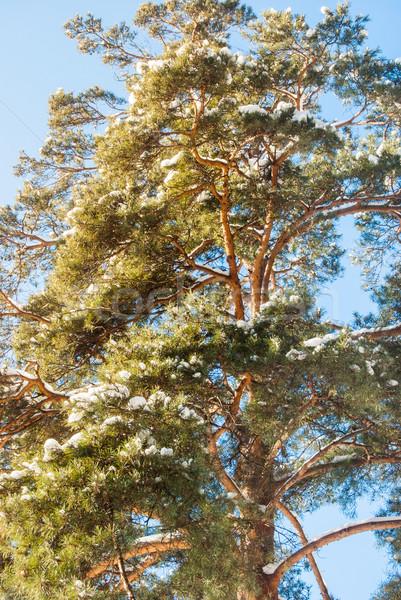Pin hiver couvert neige jour forêt Photo stock © Romas_ph