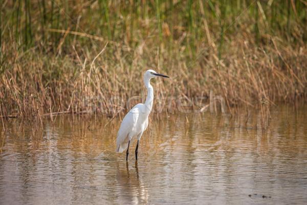 Czapla wody Botswana rezerwa południowy Zdjęcia stock © romitasromala