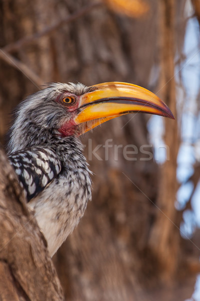 Southern Yellow-billed Hornbill in South Africa Stock photo © romitasromala