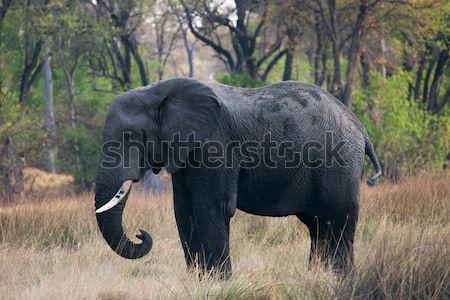 Słoń afrykański Botswana słoń jedzenie wyschnięcia Zdjęcia stock © romitasromala