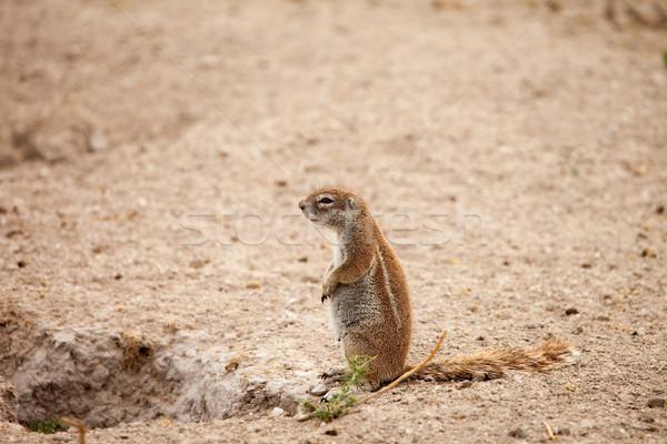 Ziemi wiewiórki ciąży kobiet Afryki pustyni Zdjęcia stock © romitasromala