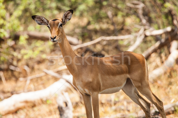 Impala female, Botswana Stock photo © romitasromala