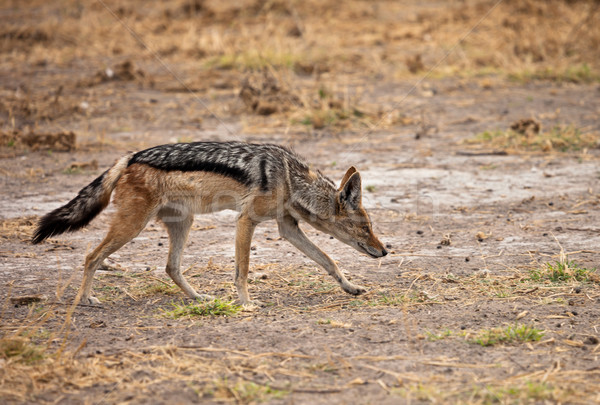 Black-backed jackal Stock photo © romitasromala