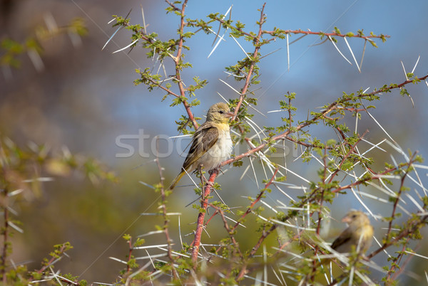 African Yellow Finch Stock photo © romitasromala