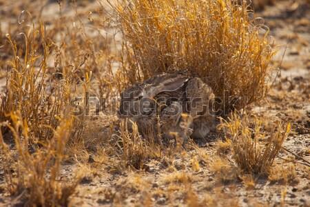 Królik Południowej Afryki posiedzenia wysoki trawy Zdjęcia stock © romitasromala