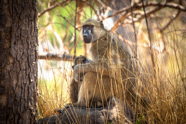 African Baboon mother and baby Stock photo © romitasromala