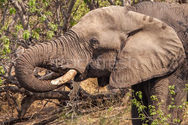 Pitnej słoń napojów wody rezerwa Botswana Zdjęcia stock © romitasromala
