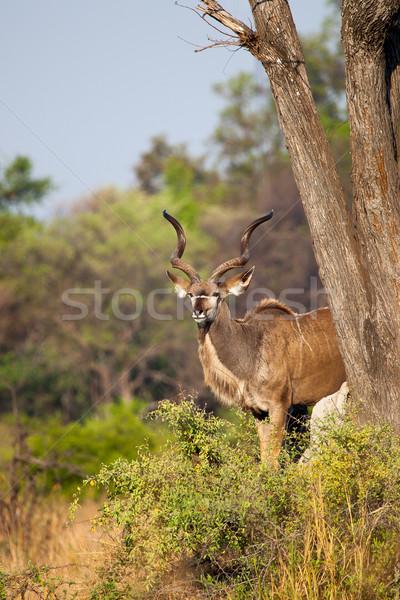 Botswana parku południowy Afryki drzew zwierząt Zdjęcia stock © romitasromala