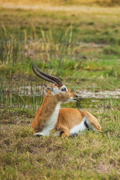 Botswana sawanna południowy Afryki parku Zdjęcia stock © romitasromala