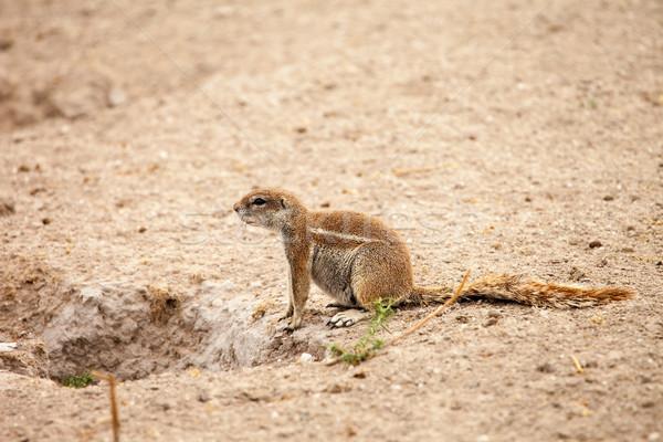 Afryki ziemi wiewiórki pustyni Botswana twarz Zdjęcia stock © romitasromala