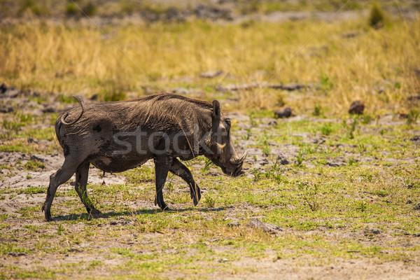 Botswana rezerwa południowy Afryki włosy życia Zdjęcia stock © romitasromala