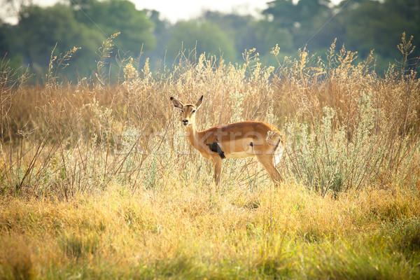 Impala with red-billed oxpecker in Botswana Stock photo © romitasromala