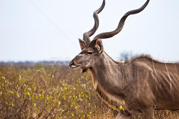 Portret pustyni Botswana podróży mięsa parku Zdjęcia stock © romitasromala