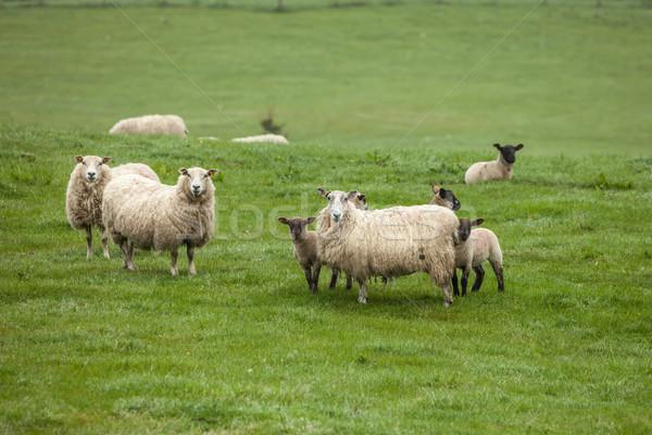 Owiec dziedzinie Szkocji charakter lata zielone Zdjęcia stock © romitasromala