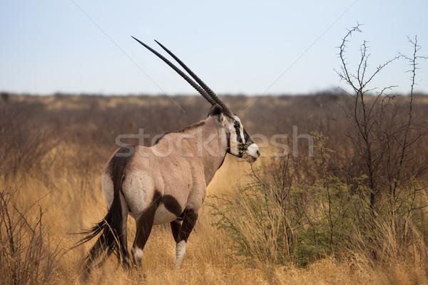 Gazela pustyni naturalnych przyrody Botswana Zdjęcia stock © romitasromala