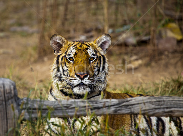 Tiger in Thailan Stock photo © romitasromala