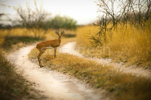 Steenbok Antelope in Botswana Stock photo © romitasromala