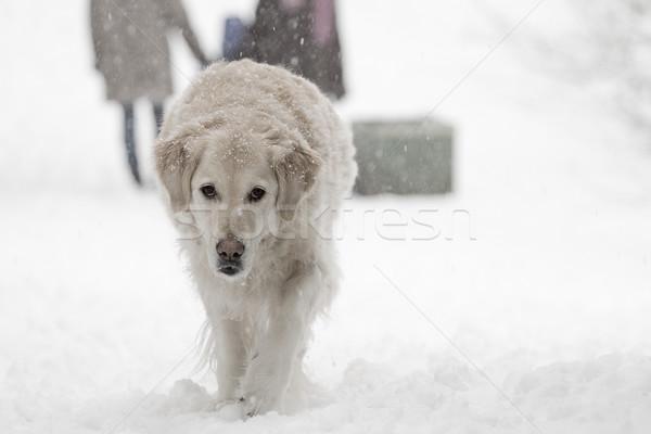 Labrador retriever psa parku śniegu zimą sam Zdjęcia stock © romitasromala