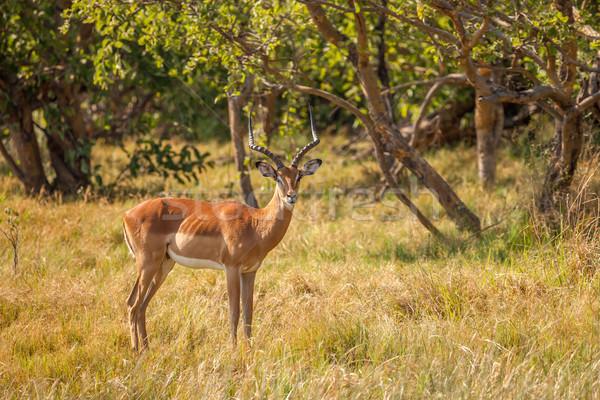 Mężczyzna Botswana rezerwa południowy Afryki rodziny Zdjęcia stock © romitasromala