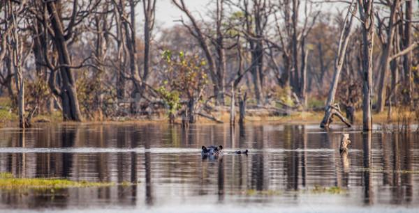 Hipopotam wody Botswana rezerwa południowy Afryki Zdjęcia stock © romitasromala