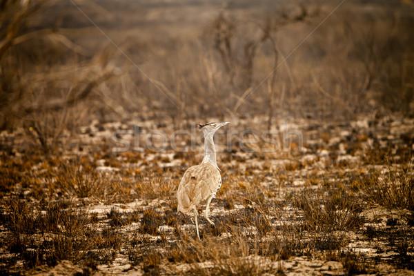 Wild African Kori Bustard in Botswana Stock photo © romitasromala