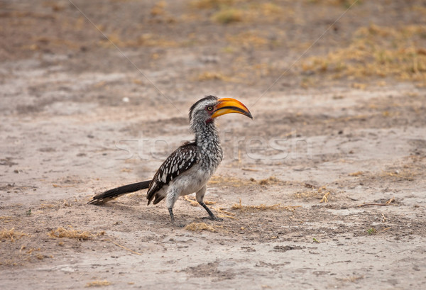 Yellow-billed hornbill Stock photo © romitasromala