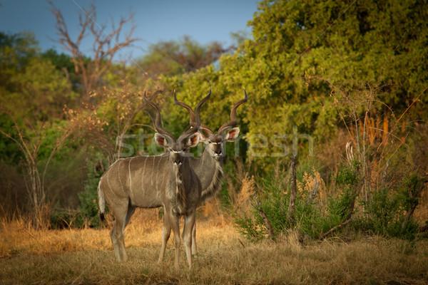 Greater Kudu Antelopes Stock photo © romitasromala