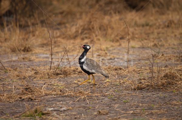 Pustyni Botswana południowy Afryki trawy tle Zdjęcia stock © romitasromala