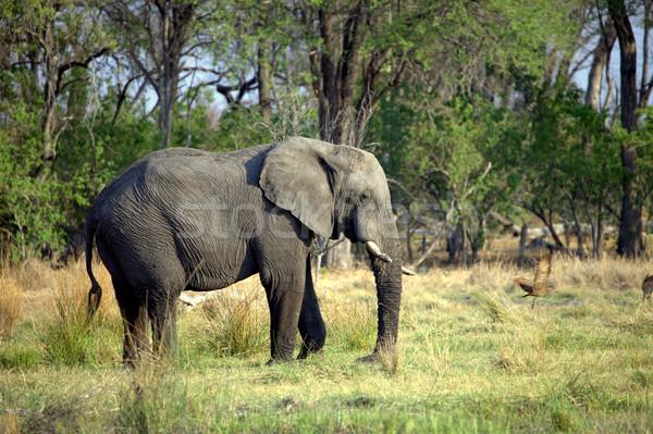 Zdjęcia stock: Słoń · afrykański · rezerwa · Botswana · drzew · podróży