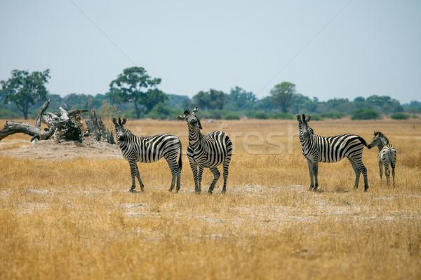 Zebry Botswana grupy sawanna charakter uruchomiony Zdjęcia stock © romitasromala