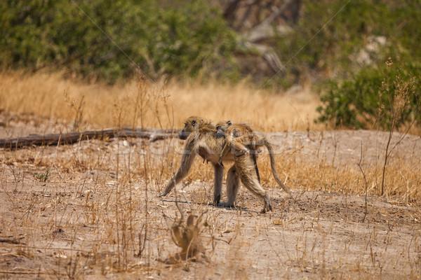 Afryki pawian matka baby Botswana rezerwa Zdjęcia stock © romitasromala
