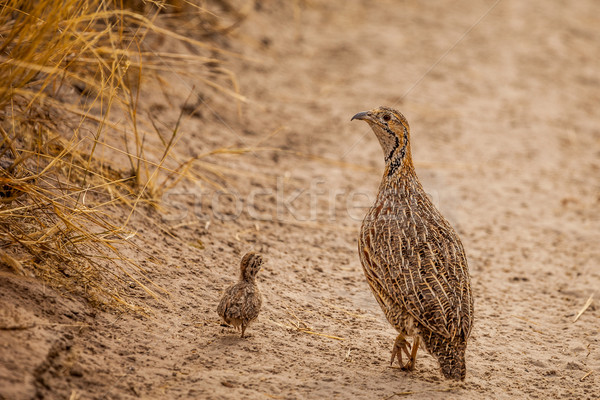 Wild Afrcan Orange River Francolin with chick Stock photo © romitasromala