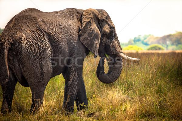 Ogromny słoń afrykański Fotografia rezerwa Botswana Zdjęcia stock © romitasromala